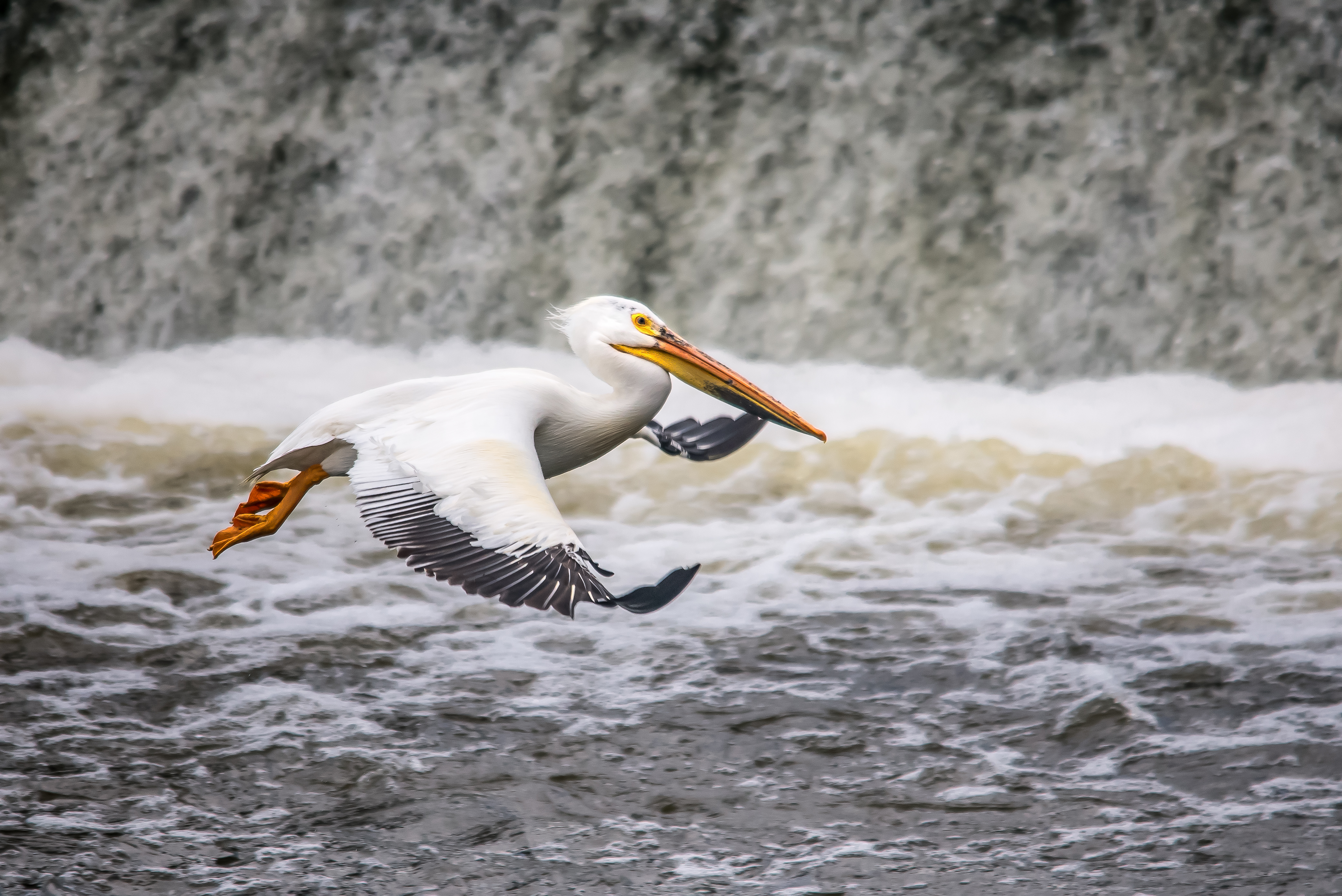 Pelican Landing in River by Kyle Mortara