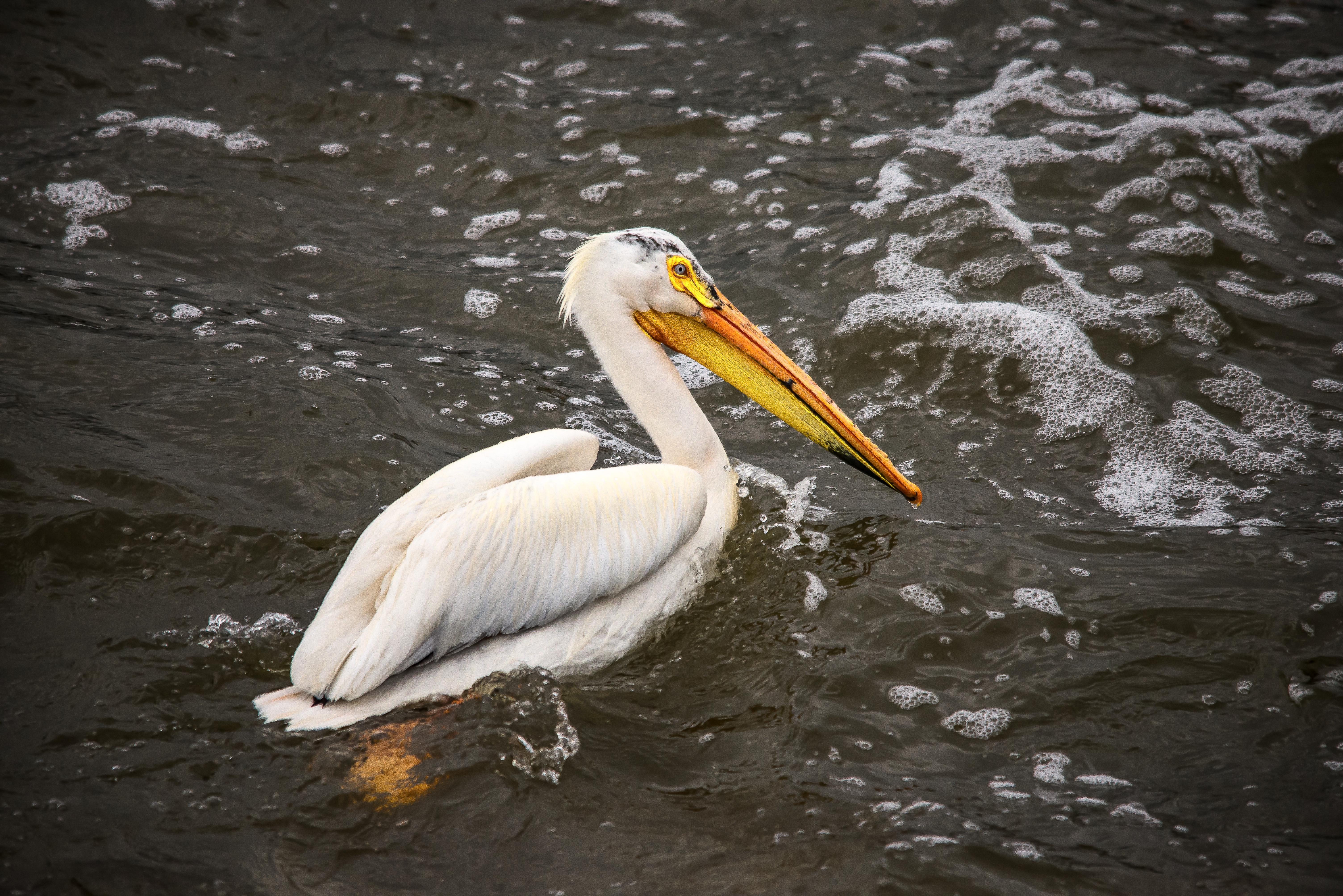 Pelican Swimming in River by Kyle Mortara